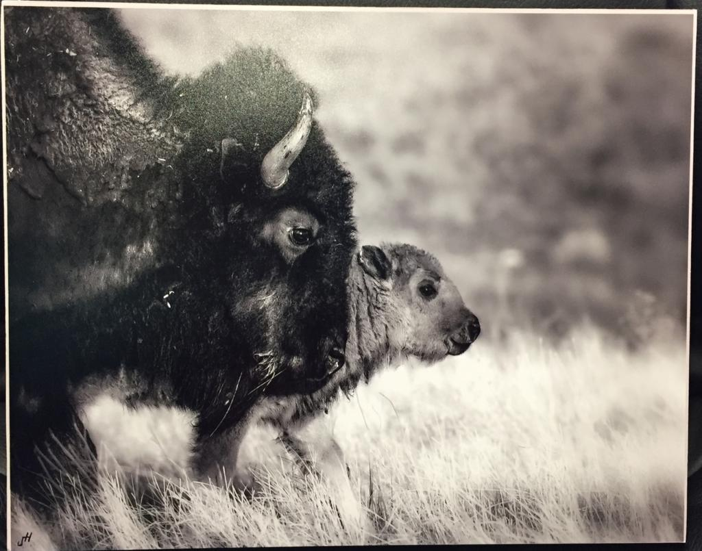 Bison Mother and Calf photo