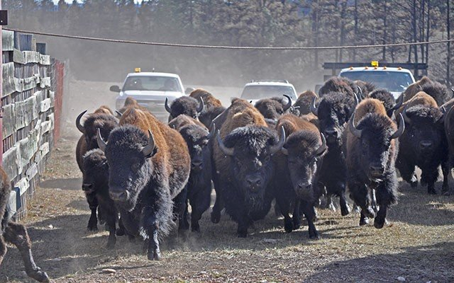 Wind Cave Herd Conservation