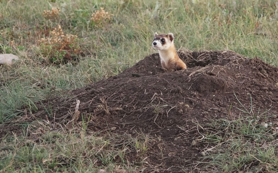 Twenty-Nine Black-footed Ferrets released at Wind Cave National Park