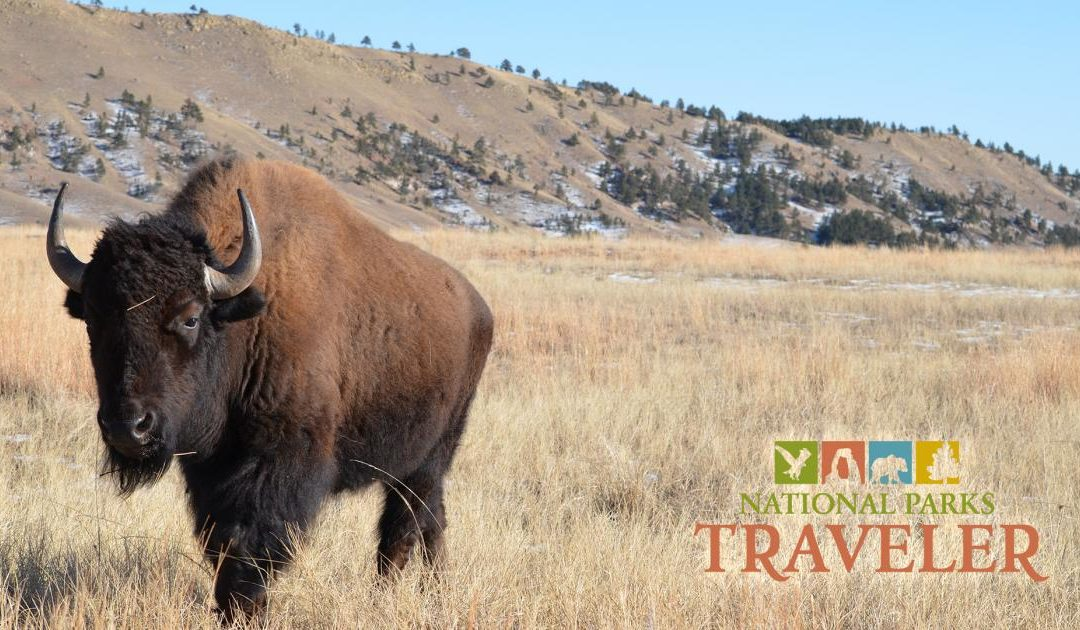 BHPFA's Adopt- A-Bison Program featured on the National Parks Traveler Podcast!